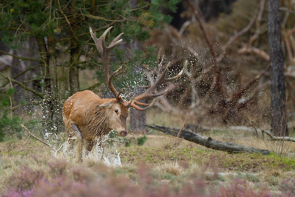 Local Red Stag
